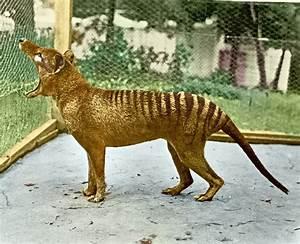 The Last Captive Thylacine by rhaguirrem on DeviantArt