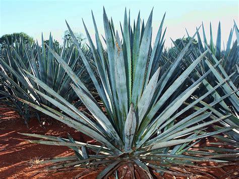 agave picture arrogante tequila 100 highlands blue agave