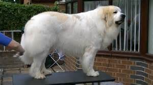 pyrenean mountain dogs great pyrenees penellcy troy