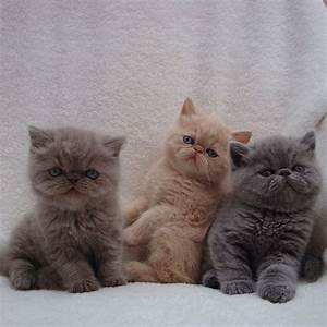 Wasabi, Mochi, and Miso, a trio of Persian kittens! Posted ...