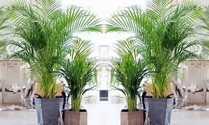 Palmen Für Drinnen : 2er set palmen f r drinnen groupon goods ~ Bigdaddyawards.com Haus und Dekorationen