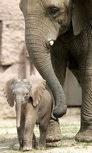 Sorry about that son! Baby elephant reunited with the ...