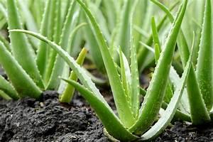 Aloe Vera Essbar : gel de aloe vera pele rosto cabelos 10 benef cios da aloe vera ~ Buech-reservation.com Haus und Dekorationen