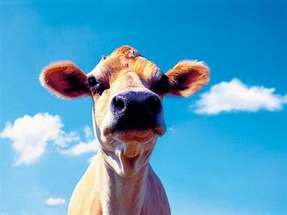 Animals Farm Funny Animal Wallpapers Cow Backgrounds