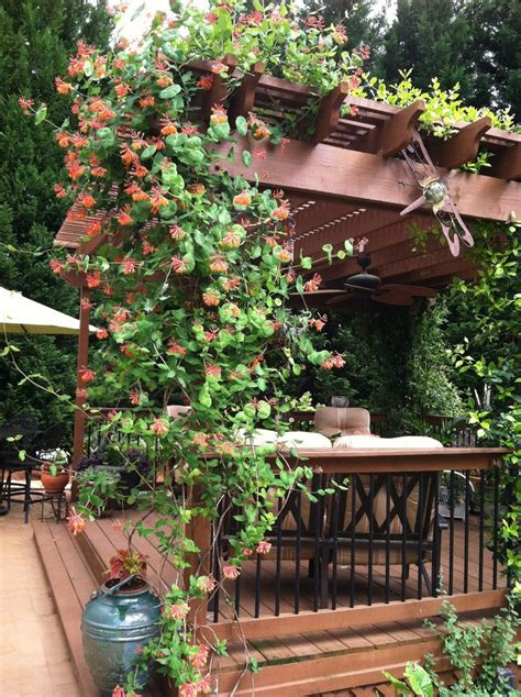 fast growing vines for pergola 19 best pergola plants climbing plants for pergolas and arbors balcony garden web