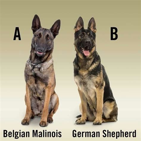 Belgian Malinois Vs German Shepherd Shedding by Belgian Malinois Vs German Shepherd Pictures To Pin On