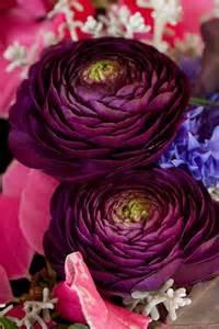 Deep Purple Ranunculus Flower