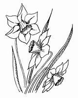 Coloring Daffodils Daffodil Purple Popular sketch template