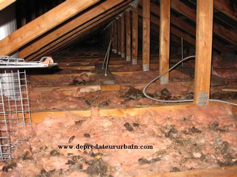 rat dans le plafond depredateur urbain extermination 514 915 3601