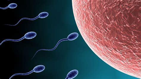 ovulation et f 233 condation dur 233 e de vie des spermatozo 239 des