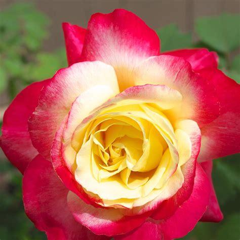 van zyverden yellow  pink rose double delight root