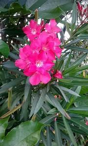 Oleander  Nerium Oleander  This Evergreen Shrub Can Reach