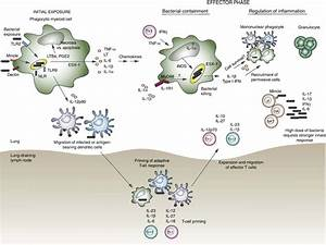 Nnate Cytokines Act During The Initiation  Expansion  And Chronic