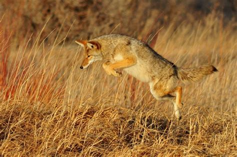 coyote facts  kids adults information pictures video