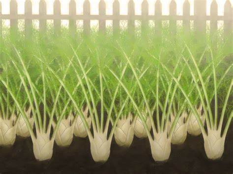 Garten Fenchel Pflanzen by Fenchel Anbauen Wikihow