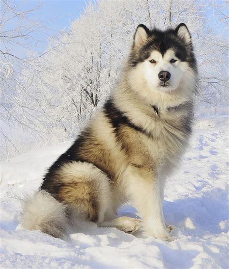 494 Best Alaskan Malamute Images On Pinterest