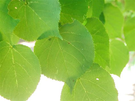 Leaves of Crimean Linden   Nature Photo Gallery