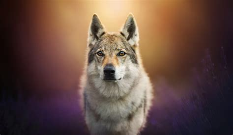 wolf dog hd animals  wallpapers images backgrounds