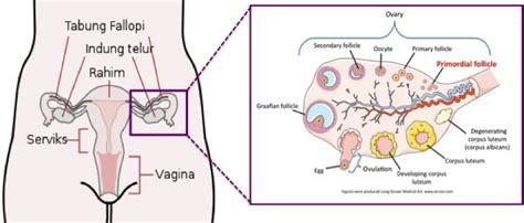 Posisi Rahim Wanita Kiri Atau Kanan Awal Pembentukan Sel Telur