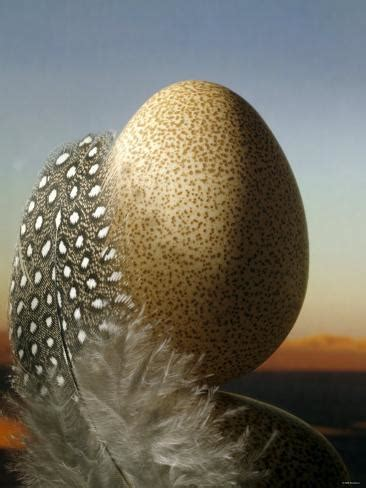 guinea fowl egg  feather photographic print
