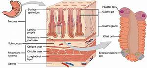 Magendrüse (Glandula gastrica)    Med-koM