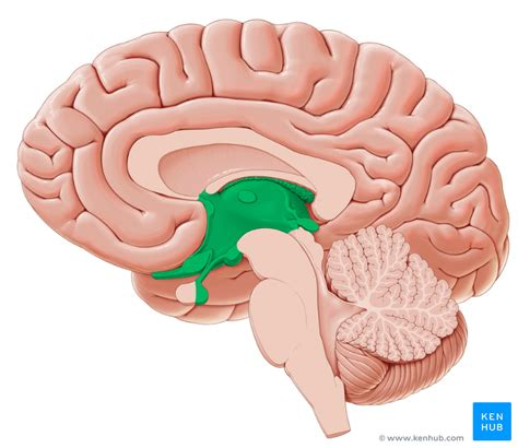 Image result for images of thalamus