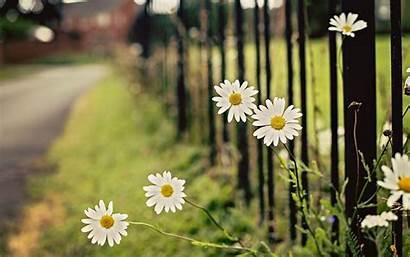 Daisy Background Flowers Chamomile Fence Street Desktop