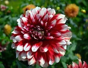 Red-White Dahlia Flower Wallpaper | Free Flower Downloads