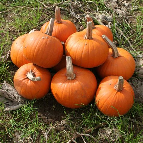 maxim becky treated seed pumpkin f1 seeds kings