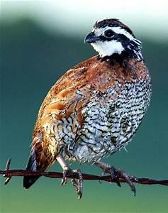 Quail for Sale. East Texas Quail, Quail, Hunters, Birds ...