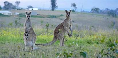 Kangaroos Attack Kangaroo Attacks Grafton Known Course