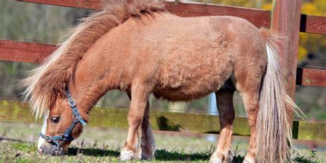 horse miniature horses responsibility basics mini caloric tend keepers low need easy