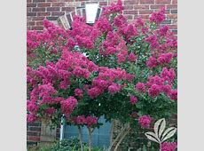 4 in x 4 in x 10 in Crape Myrtle Tonto Container