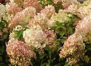 Hydrangea Paniculata Bobo : hydrangea paniculata 39 bobo 39 4 70cm garden pinterest ~ Michelbontemps.com Haus und Dekorationen
