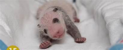 Panda Giant Born Cubs Tiny Re Premature