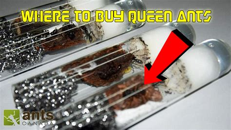 Where To Buy A by New Where To Buy Ants Starting Ant Keeping