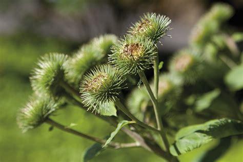 Burdock Plant Uses: Tips On Growing Burdock Plants In Gardens