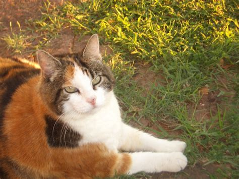 names for calico cats great names for a calico cat pethelpful