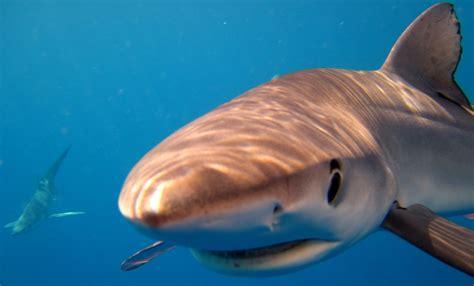 blue sharks swim   waikato independent
