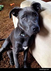 Maverick, a five month old blue nose pitbull / chocolate ...