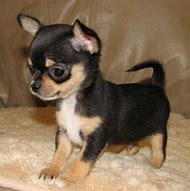 Best Black Chihuahua Ideas And Images On Bing Find What Youll Love