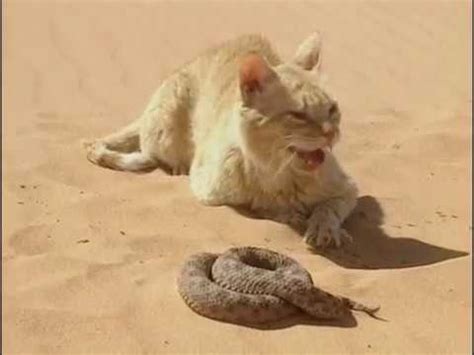 Chat Des Sables Vs Serpent Du Désert Youtube