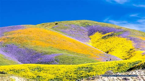desert flowers anza southern california bloom migrates of los