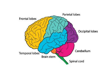 Different Parts of the Brain Lobe