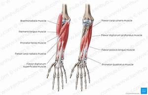 Ebsgbtsflfudccix9rsq Forearm Flexor Muscles English  With Images