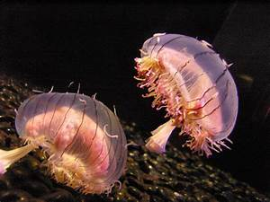 Flower hat jelly - Wikipedia  Jellyfish