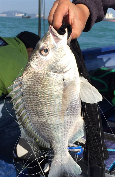 fish bream sea fishing species catch flowers march report hong kong