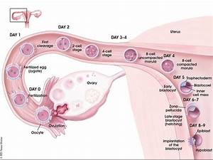 Implantation - Embryology