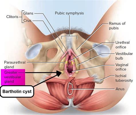 Glands Vulva Diagram Quality Porn