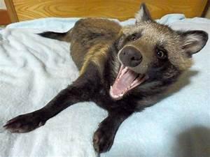 Mett Tanu The Japanese Raccoon Dog, The Cutest Pup Around